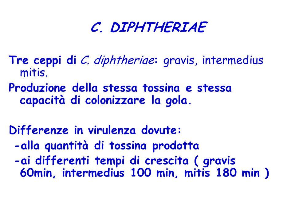 C. DIPHTHERIAE Tre ceppi di C. diphtheriae: gravis, intermedius mitis.