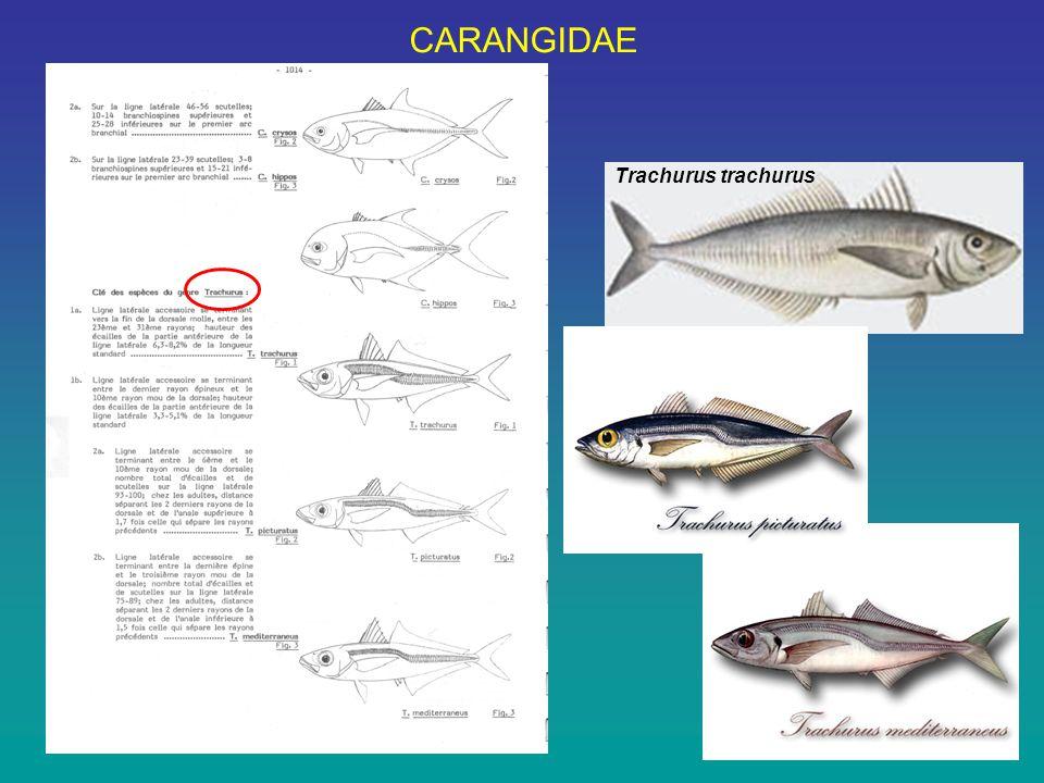 CARANGIDAE Trachurus trachurus