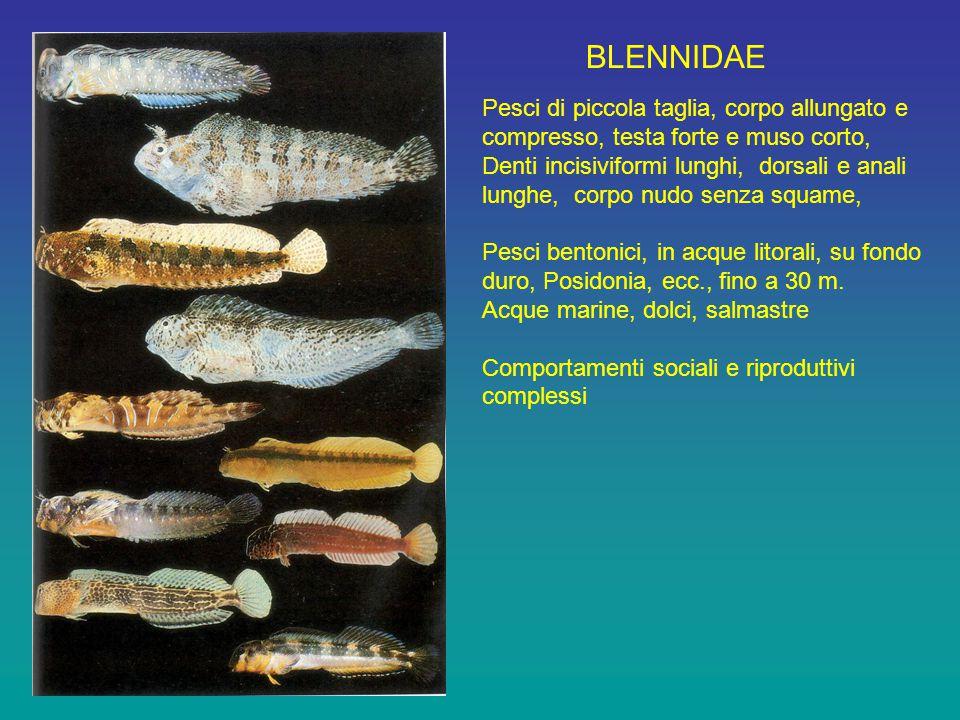 BLENNIDAE Pesci di piccola taglia, corpo allungato e