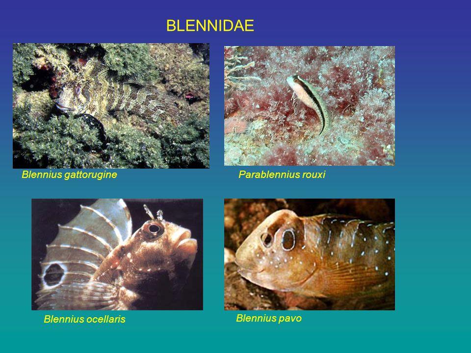 BLENNIDAE Blennius gattorugine Parablennius rouxi Blennius ocellaris