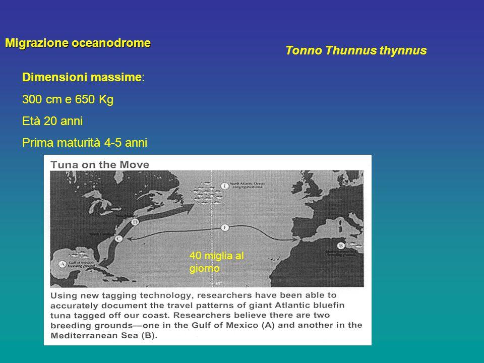 Migrazione oceanodrome Tonno Thunnus thynnus
