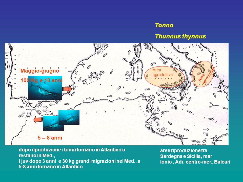 Tonno Thunnus thynnus Maggio-giugno 100 Kg e 10 anni 5 – 8 anni