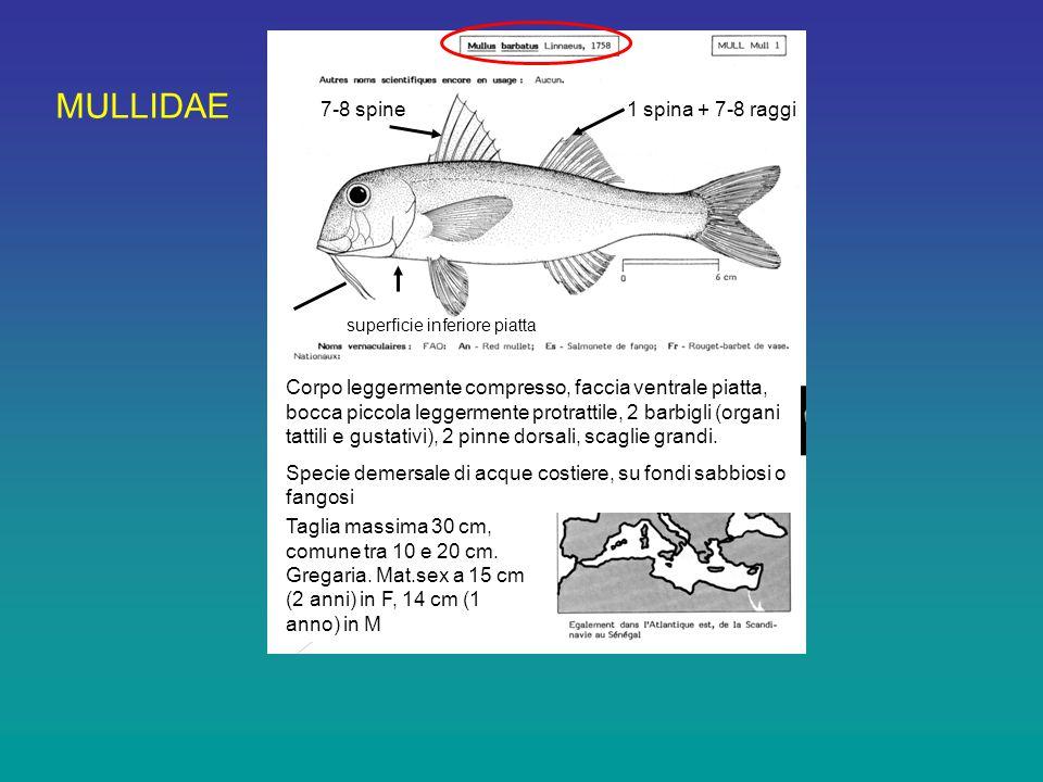 MULLIDAE 7-8 spine 1 spina + 7-8 raggi