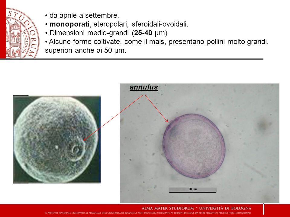 da aprile a settembre. monoporati, eteropolari, sferoidali-ovoidali. Dimensioni medio-grandi (25-40 µm).