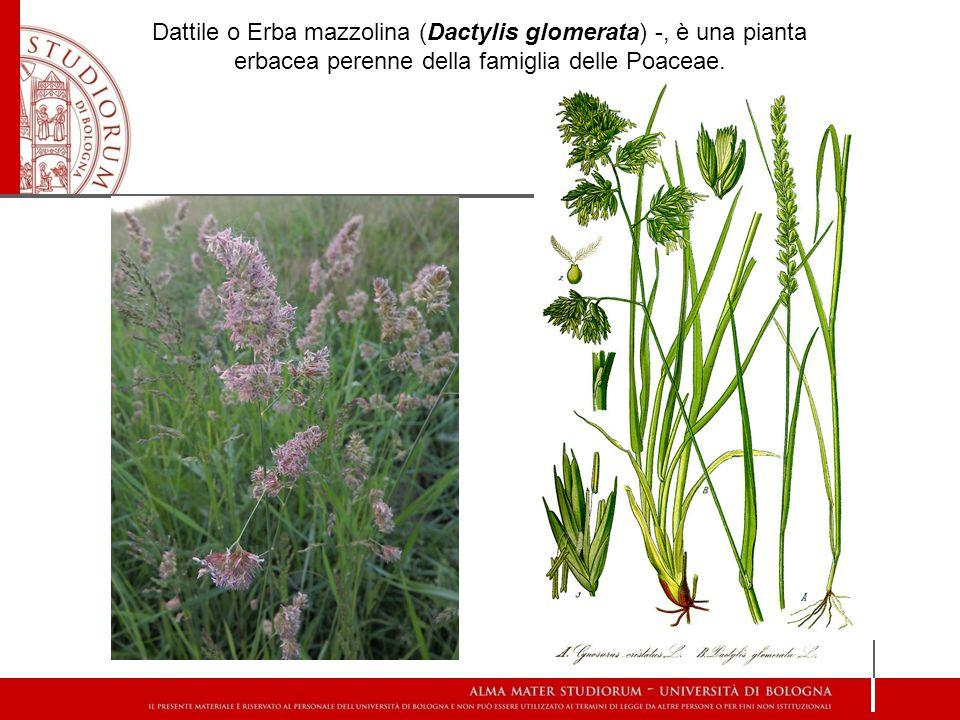 Dattile o Erba mazzolina (Dactylis glomerata) -, è una pianta erbacea perenne della famiglia delle Poaceae.