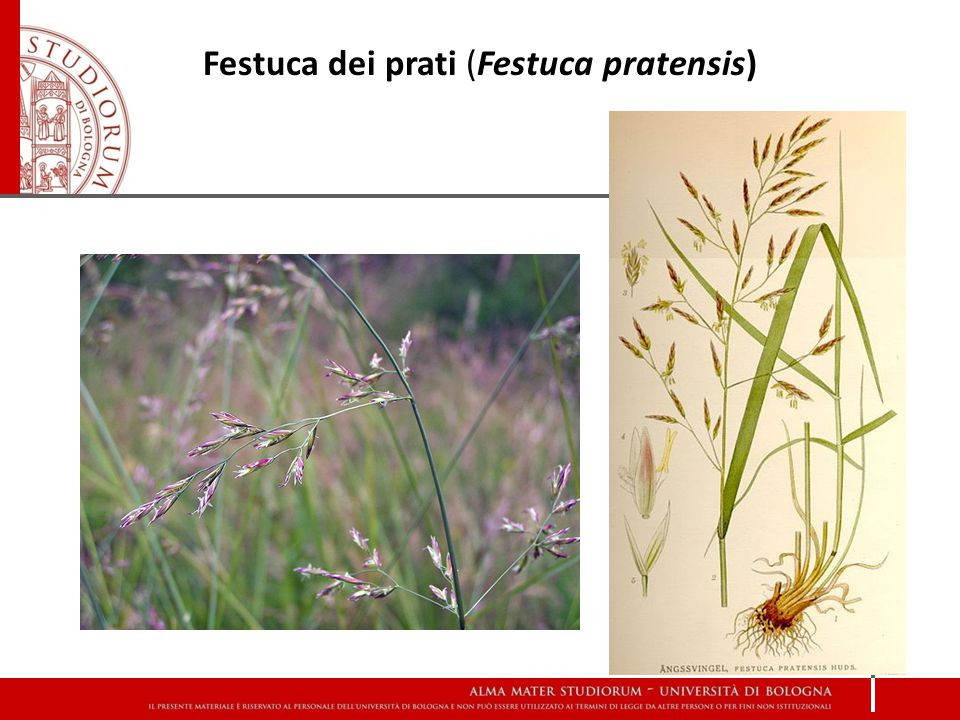 Festuca dei prati (Festuca pratensis)
