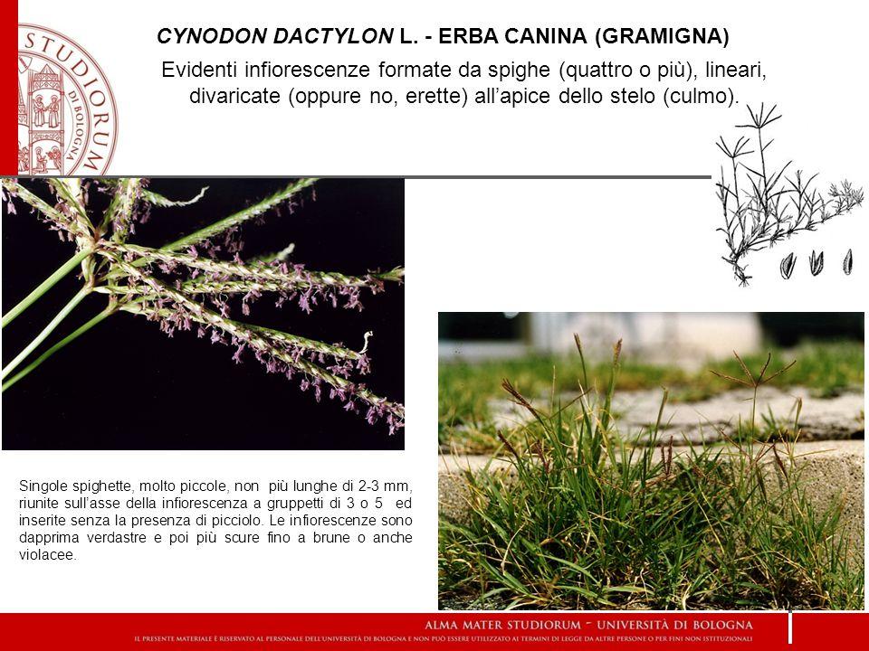 CYNODON DACTYLON L. - ERBA CANINA (gramigna)