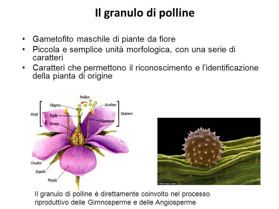 Il granulo di polline Gametofito maschile di piante da fiore
