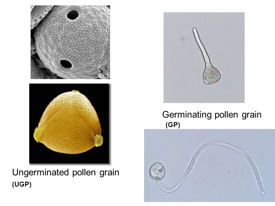 Germinating pollen grain