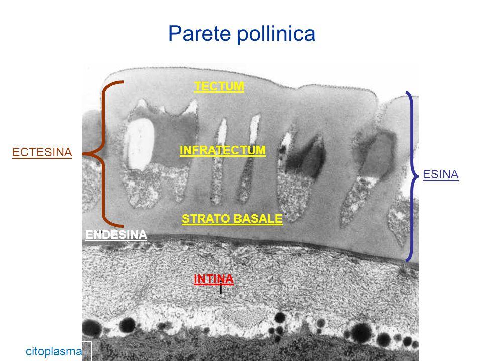 Parete pollinica TECTUM INFRATECTUM ECTESINA ESINA STRATO BASALE