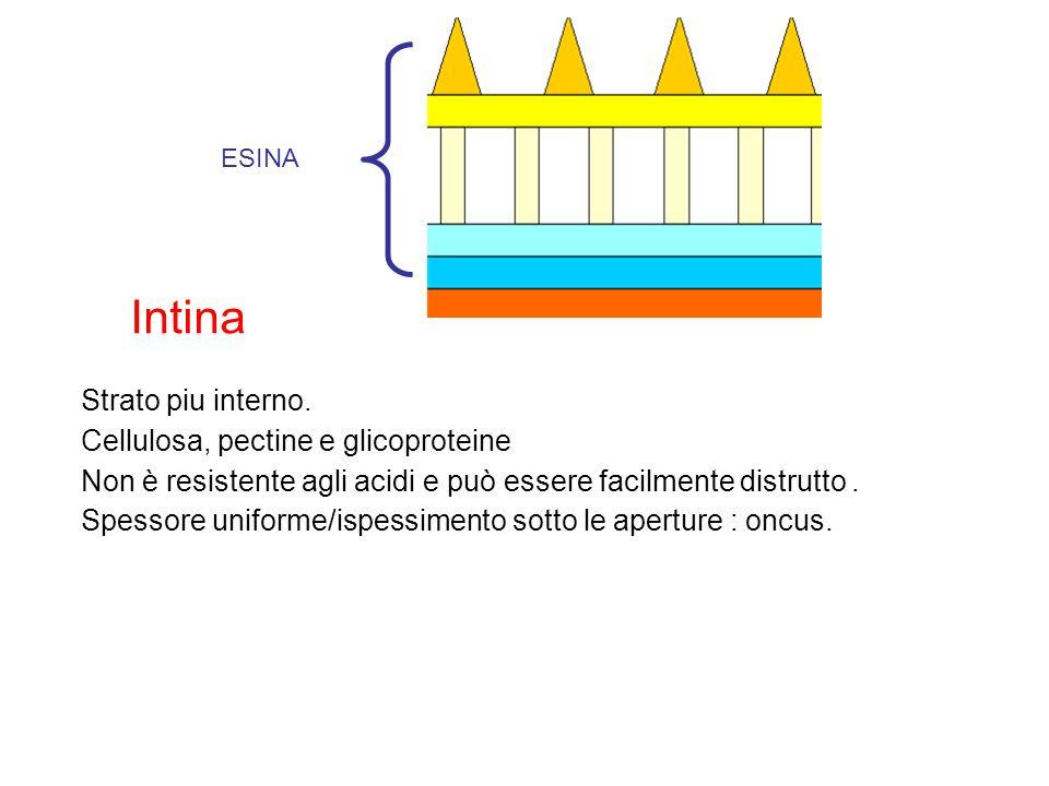 Intina Strato piu interno. Cellulosa, pectine e glicoproteine