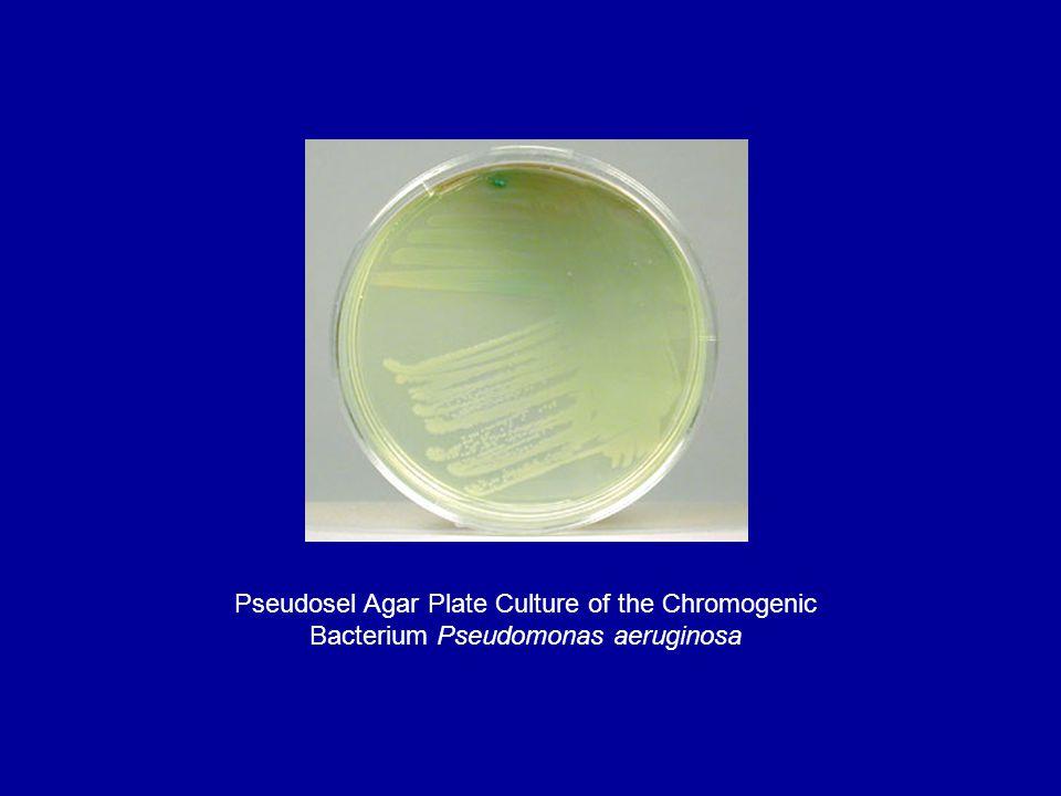 Pseudosel Agar Plate Culture of the Chromogenic Bacterium Pseudomonas aeruginosa