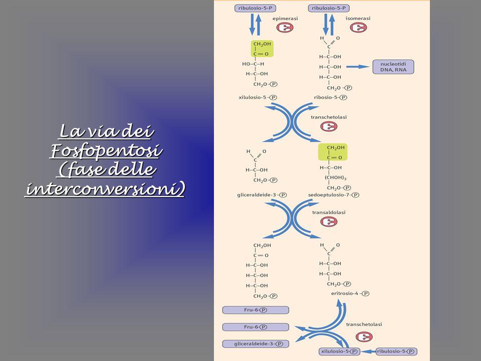 La via dei Fosfopentosi (fase delle interconversioni)
