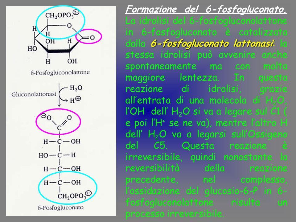 Formazione del 6-fosfogluconato