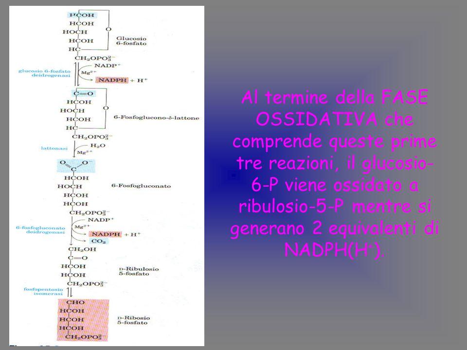 Al termine della FASE OSSIDATIVA che comprende queste prime tre reazioni, il glucosio-6-P viene ossidato a ribulosio-5-P mentre si generano 2 equivalenti di NADPH(H+).