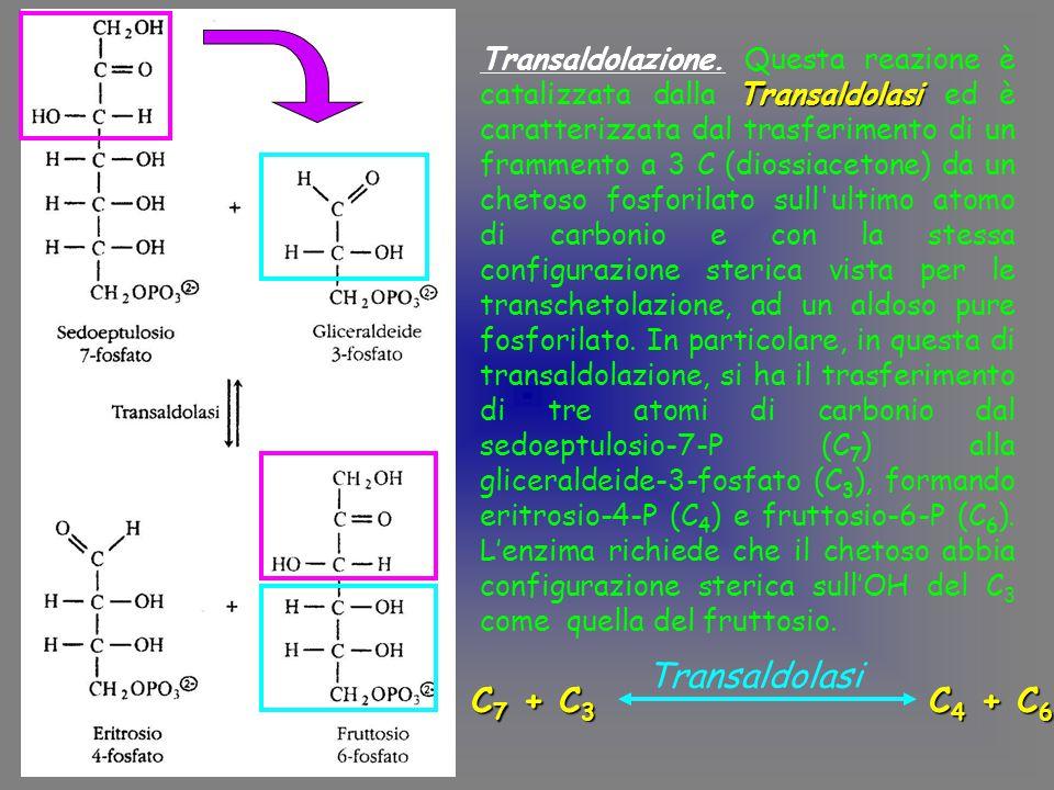 Transaldolazione. Questa reazione è catalizzata dalla Transaldolasi ed è caratterizzata dal trasferimento di un frammento a 3 C (diossiacetone) da un chetoso fosforilato sull ultimo atomo di carbonio e con la stessa configurazione sterica vista per le transchetolazione, ad un aldoso pure fosforilato. In particolare, in questa di transaldolazione, si ha il trasferimento di tre atomi di carbonio dal sedoeptulosio-7-P (C7) alla gliceraldeide-3-fosfato (C3), formando eritrosio-4-P (C4) e fruttosio-6-P (C6). L'enzima richiede che il chetoso abbia configurazione sterica sull'OH del C3 come quella del fruttosio.