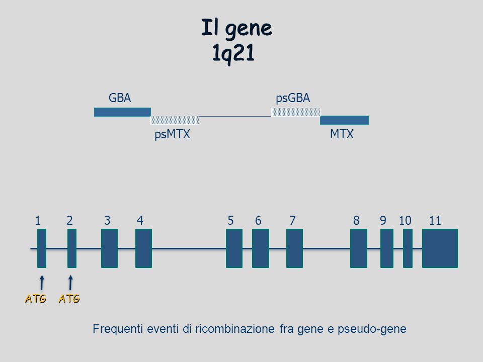 Il gene 1q21 GBA psGBA psMTX MTX 1 2 3 4 5 6 7 8 9 10 11