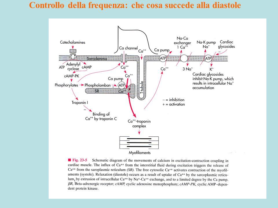 Controllo della frequenza: che cosa succede alla diastole