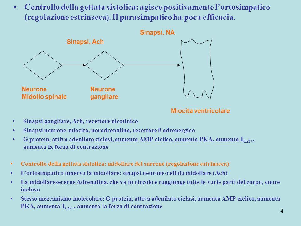 Controllo della gettata sistolica: agisce positivamente l'ortosimpatico (regolazione estrinseca). Il parasimpatico ha poca efficacia.