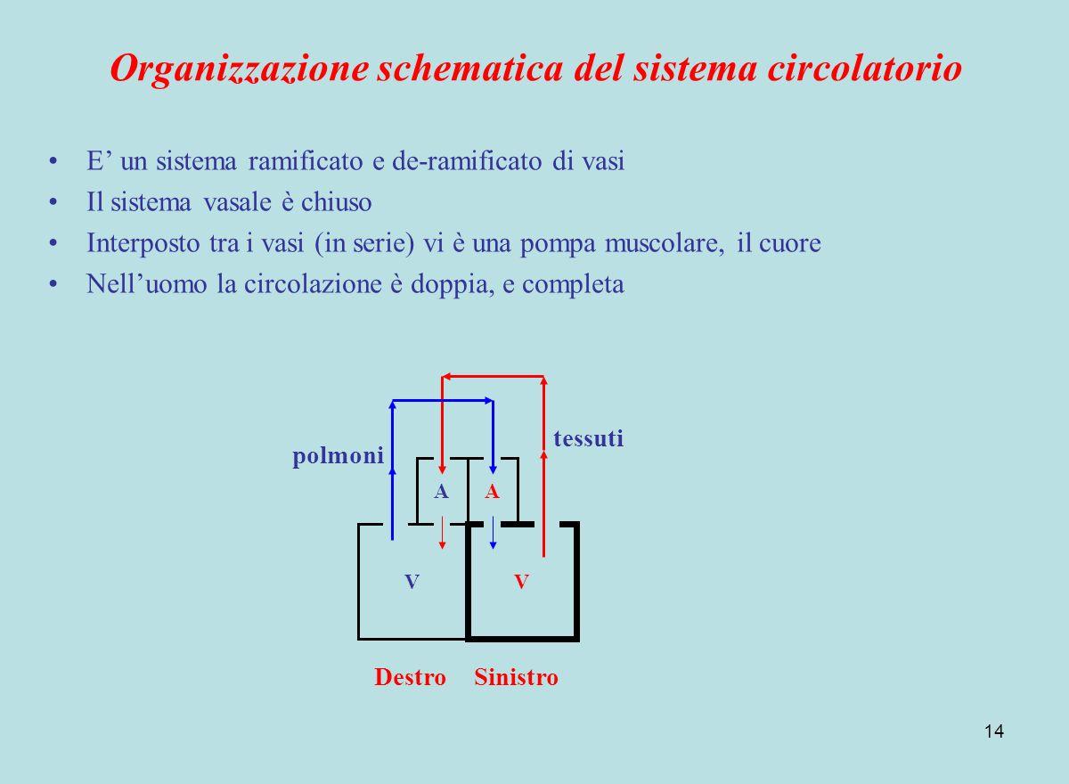 Organizzazione schematica del sistema circolatorio