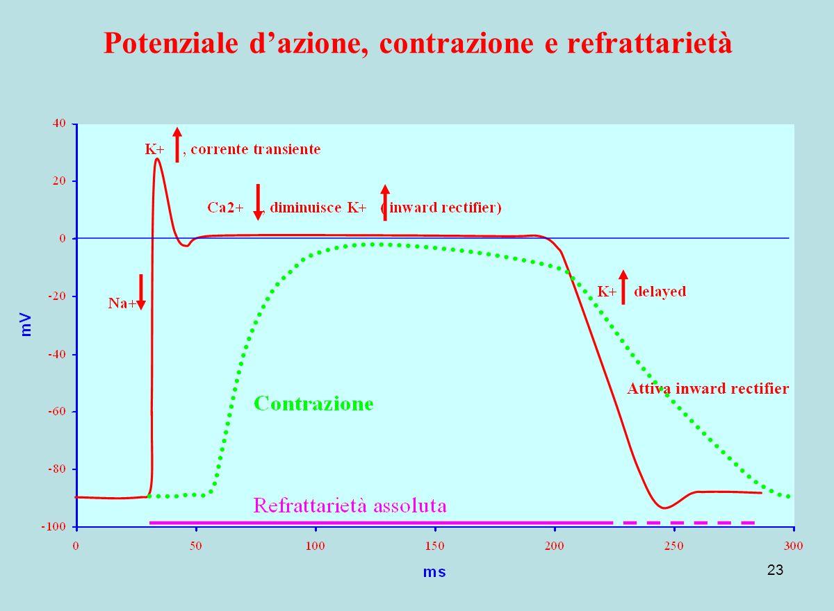 Potenziale d'azione, contrazione e refrattarietà