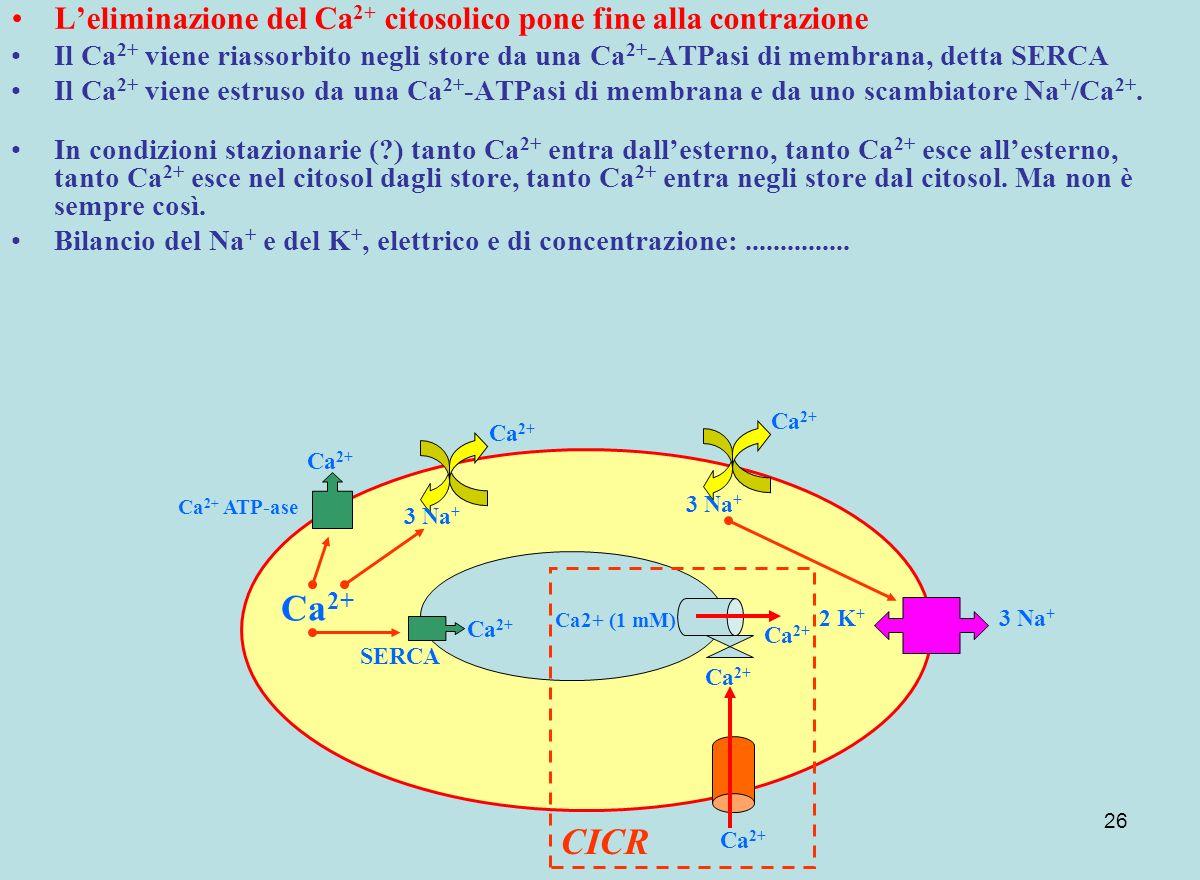 L'eliminazione del Ca2+ citosolico pone fine alla contrazione