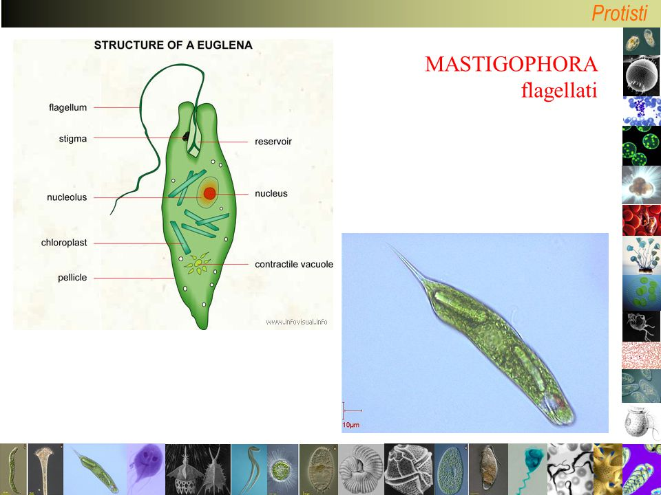 MASTIGOPHORA flagellati