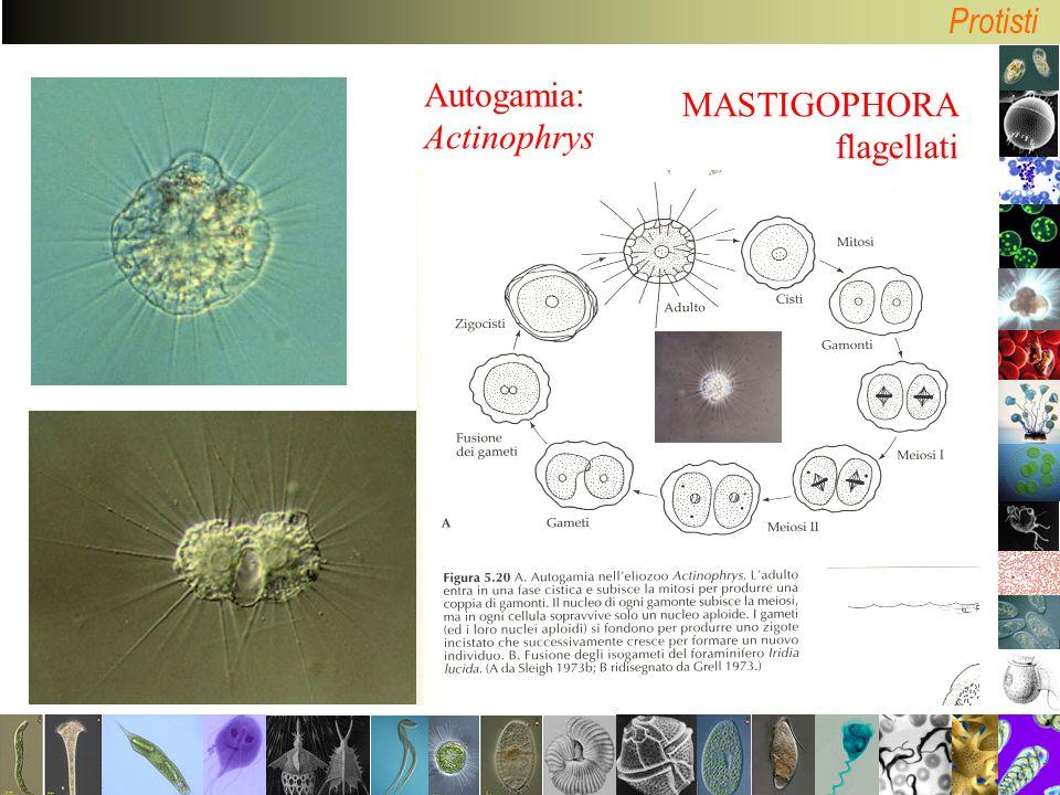 Autogamia: Actinophrys MASTIGOPHORA flagellati