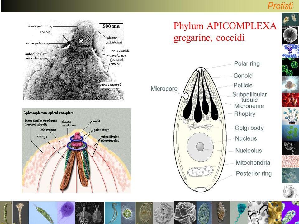 Phylum APICOMPLEXA gregarine, coccidi