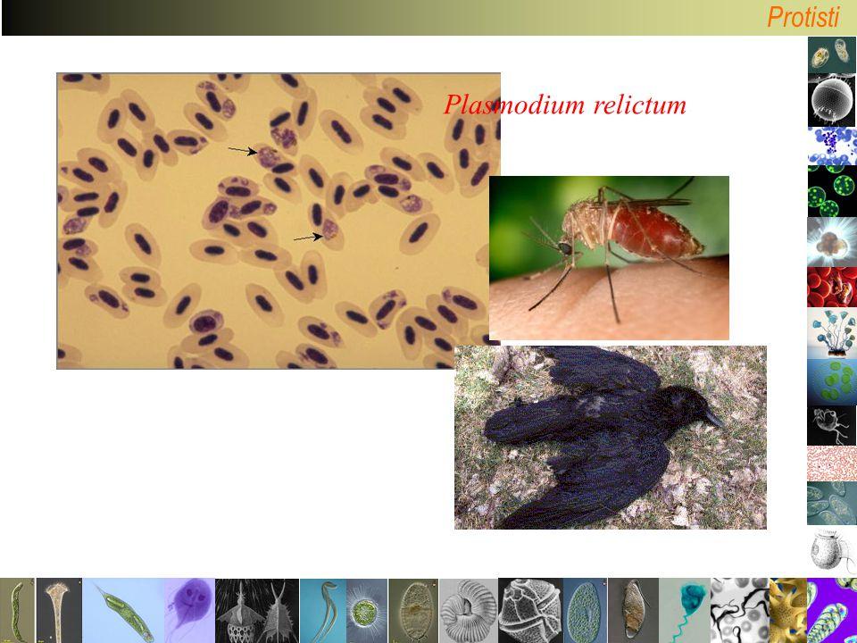 Plasmodium relictum