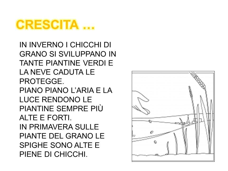 CRESCITA … IN INVERNO I CHICCHI DI GRANO SI SVILUPPANO IN TANTE PIANTINE VERDI E LA NEVE CADUTA LE PROTEGGE.