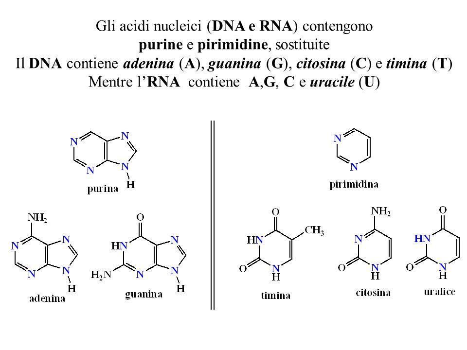 Il DNA contiene adenina (A), guanina (G), citosina (C) e timina (T)