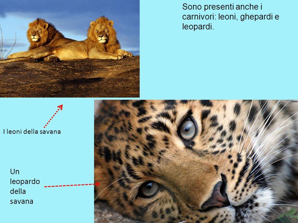 Sono presenti anche i carnivori: leoni, ghepardi e leopardi.