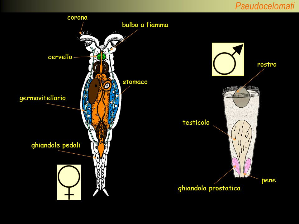 corona bulbo a fiamma cervello rostro stomaco germovitellario