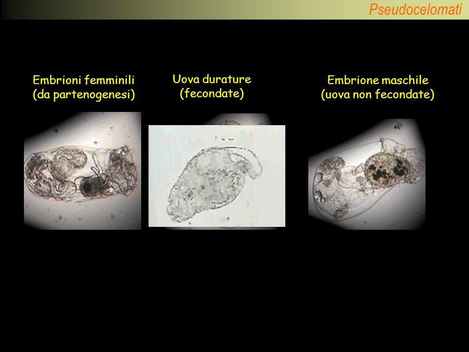 Embrioni femminili (da partenogenesi) Uova durature (fecondate)