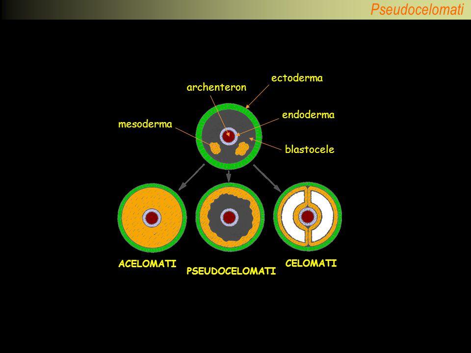 ectoderma archenteron endoderma mesoderma blastocele ACELOMATI