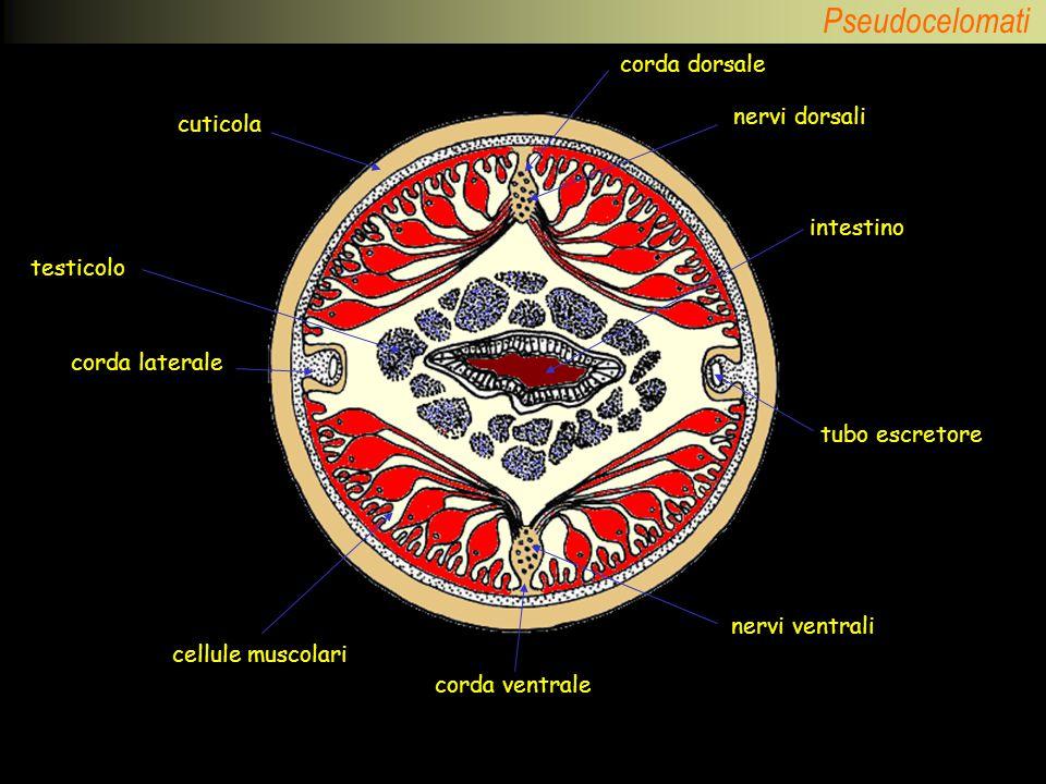 corda dorsale nervi dorsali cuticola intestino testicolo