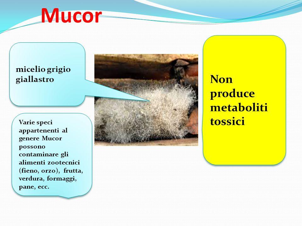 Mucor Non produce metaboliti tossici micelio grigio giallastro