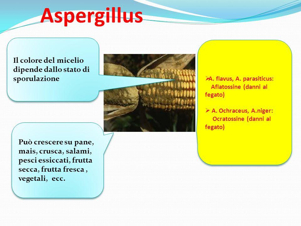 Aspergillus Il colore del micelio dipende dallo stato di sporulazione