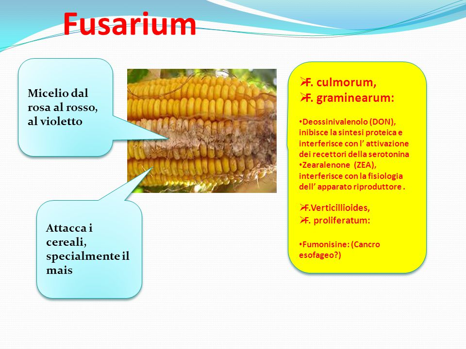Fusarium F. culmorum, F. graminearum: