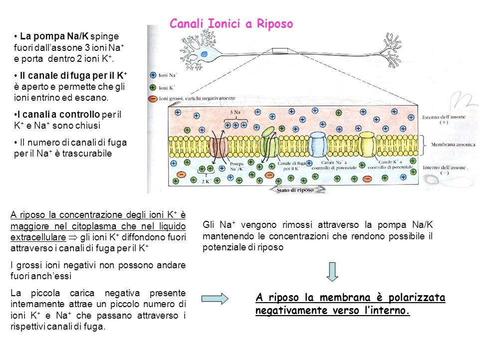 Canali Ionici a Riposo La pompa Na/K spinge fuori dall'assone 3 ioni Na+ e porta dentro 2 ioni K+.