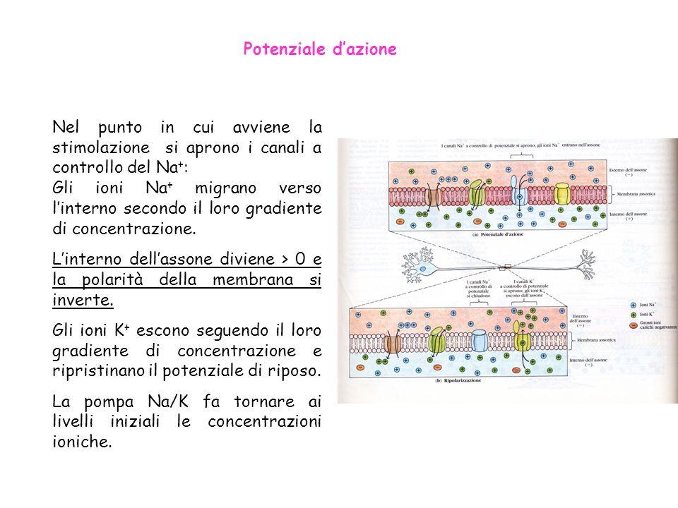 Potenziale d'azioneNel punto in cui avviene la stimolazione si aprono i canali a controllo del Na+: