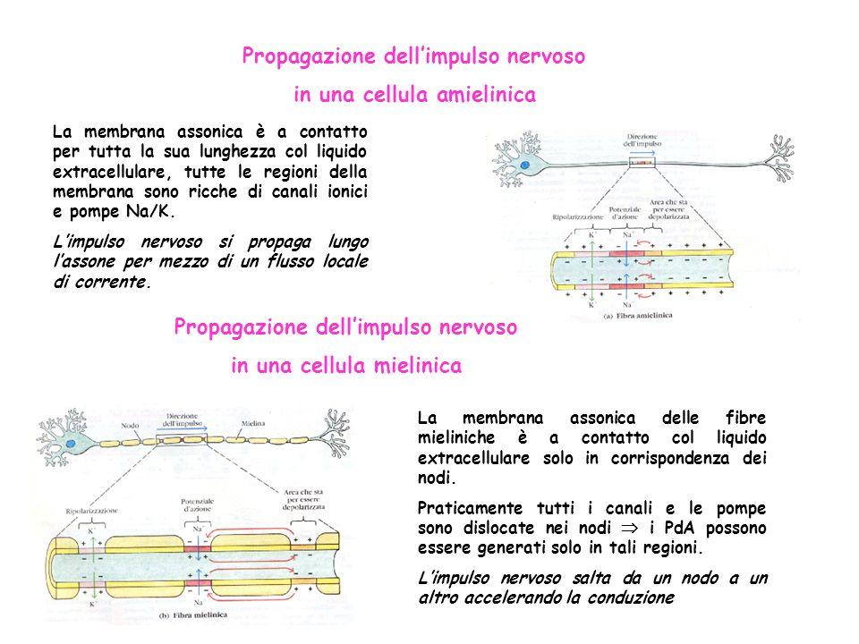 Propagazione dell'impulso nervoso in una cellula amielinica