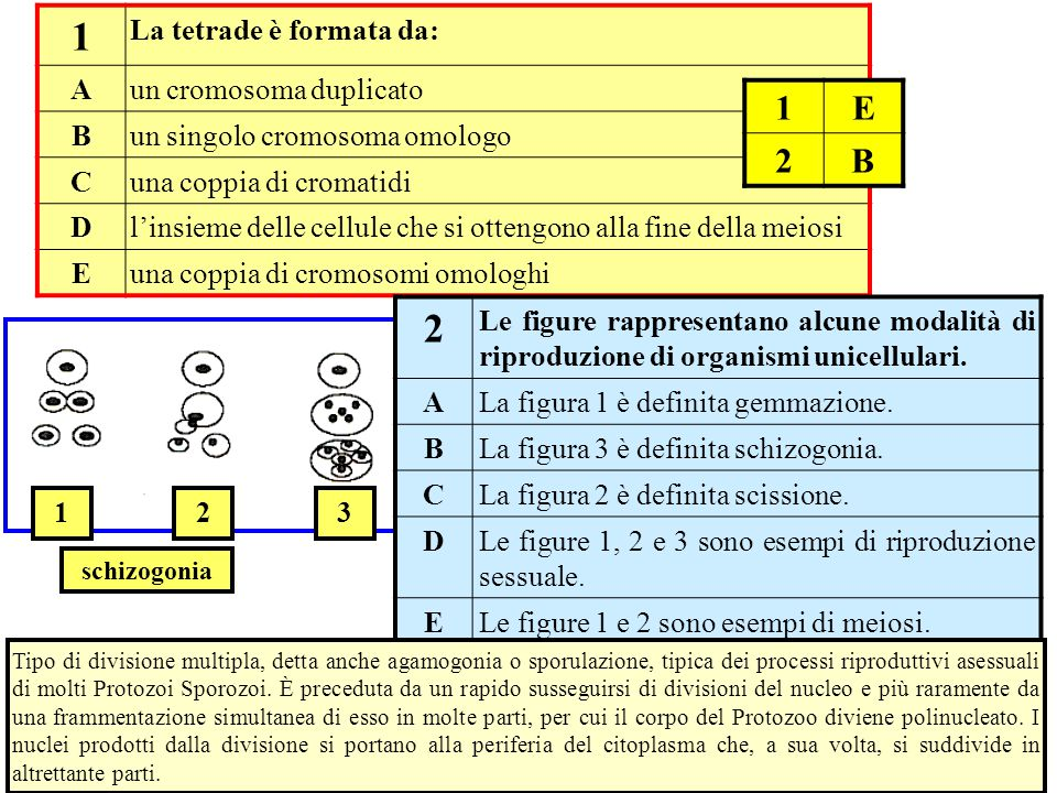 1 2 1 E 2 B La tetrade è formata da: A un cromosoma duplicato B