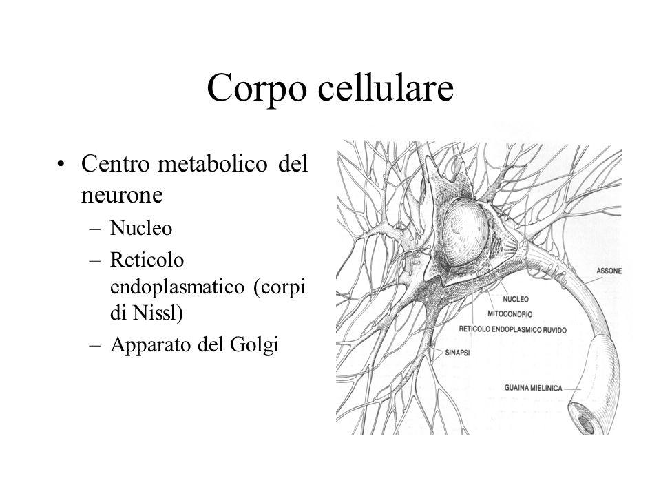 Corpo cellulare Centro metabolico del neurone Nucleo