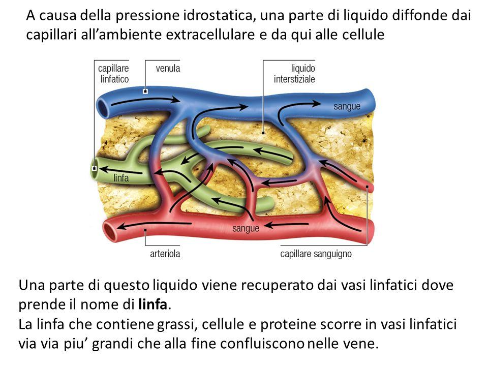 A causa della pressione idrostatica, una parte di liquido diffonde dai capillari all'ambiente extracellulare e da qui alle cellule