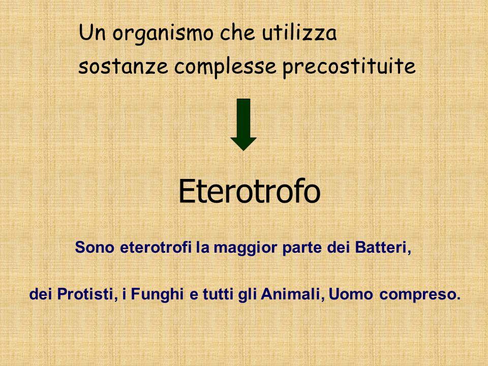 Eterotrofo Un organismo che utilizza sostanze complesse precostituite