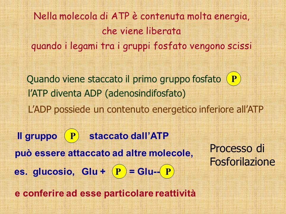 Processo di Fosforilazione