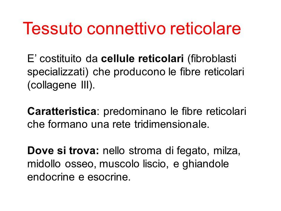Tessuto connettivo reticolare