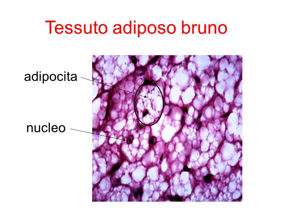 Tessuto adiposo bruno adipocita nucleo